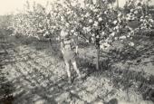 Æbletræerene blomstrer