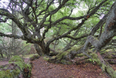 200 årig birk i Thagaards plantage