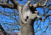 Egetræ ved dyssen