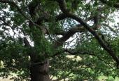Flot stort egetræ.