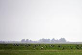 Græssende gæs ved Misthusum