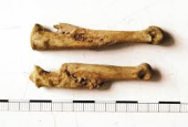 Vikinge knogle - Galgedil