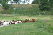 Gmmelt kvæg på Hindsgavls eng