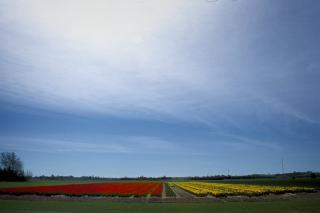 Lammefjorden, tulipanmark