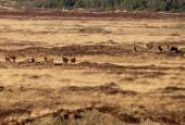 En større flok af vildtet