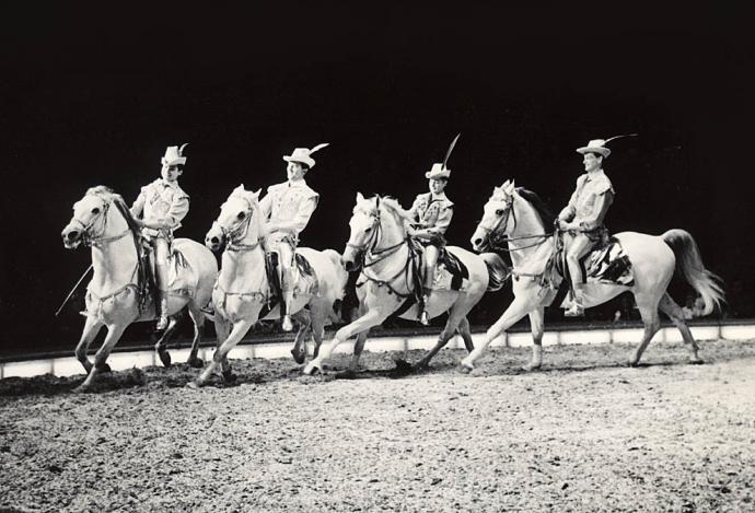 Lipizzaner-heste i Cirkus Schumann